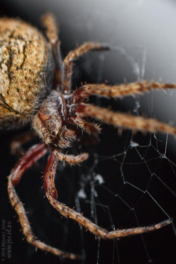 "say ""hello"" to Orville, our little Garden Orb Weaving Spider.  I've been walking into his web for a while now and tonight was the first time I'd caught sight of him.  actual size (legs and all) would be around the size of a 10c piece. for the technically minded: Canon 5dMk2 