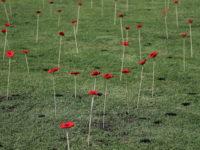 Poppies 2342