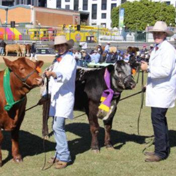 Cattle Show Ekka Winning Steers 285X285