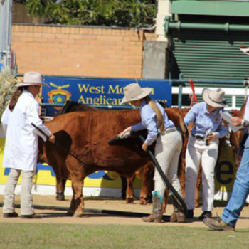 Qcl Ekka Cattle Team2