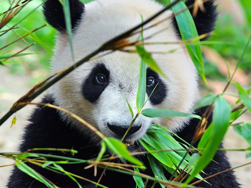 In Pursuit of Pandas