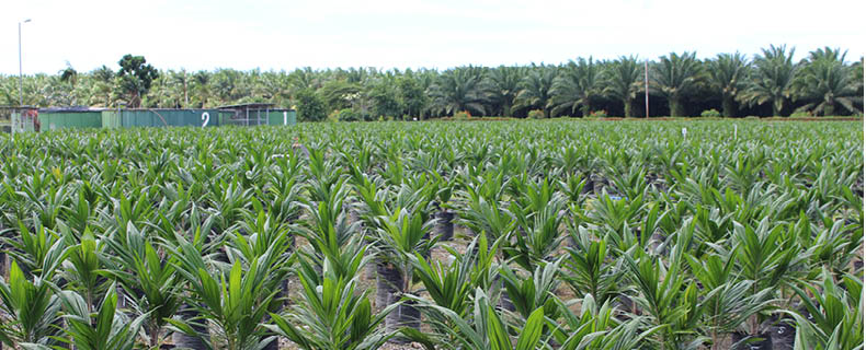 Young oil palm seedlings