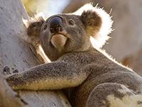 Koala-strategy-hys-200