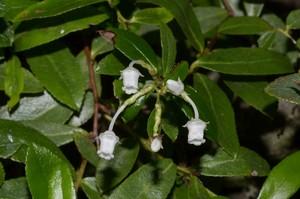 Gaultheria viridicarpa
