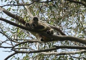 Schuster koala2 16.10.18