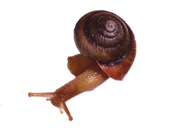 Maroubra woodland snail darryl potter larger
