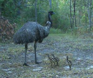 Emu family dromaius novaehollandiae nl