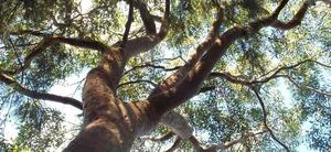 Angophora costata01