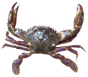 Ms28 17 asian paddle crab pest species