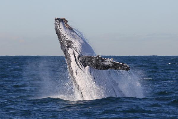 Humpback whale 135134l