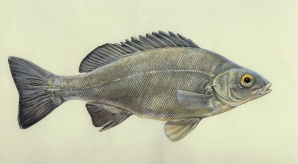 Silver perch, formerly widespread over much of the Murray-Darling Basin, has declined over most of its range. Drawing by Marjorie Crosby-Fairall.