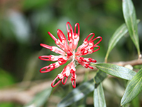 Red spider flower grevillea speciosa 127800 small