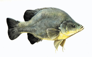 Golden perch, Drawing by Marjorie Crosby-Fairall.
