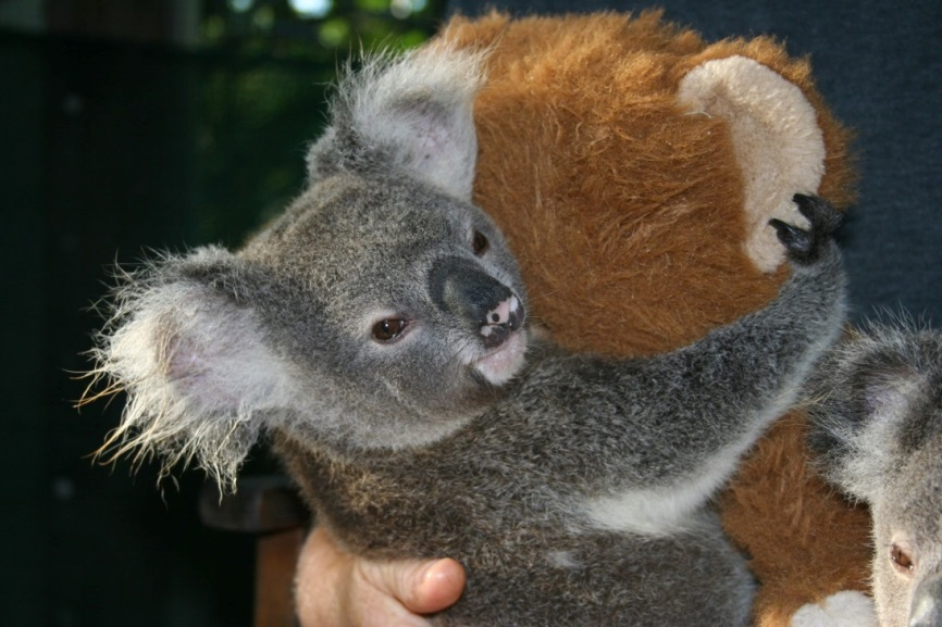 Koala teddy cuddle   credit wildcare