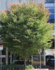 Tree yarraville