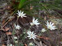Flannel flower 141396 engage