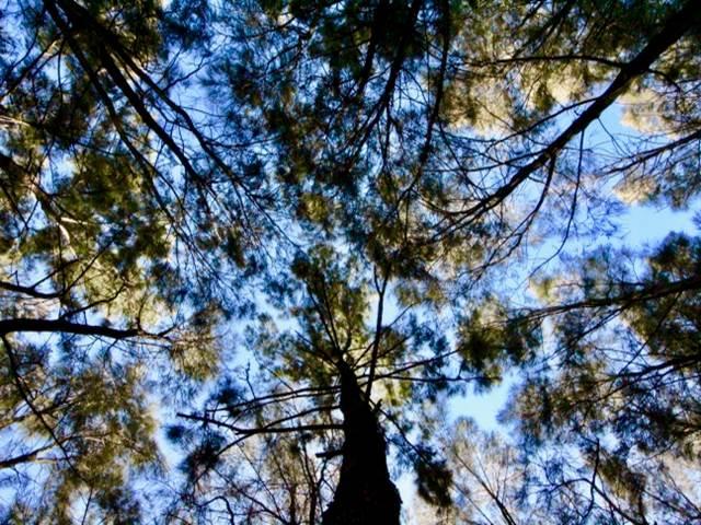 Trees   pioneers memorial park