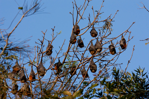 Stock   flying foxes