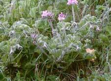 Pelargonium capitatum   image 1