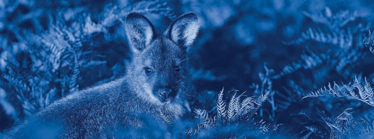 Photograph of a wallaby amongst some bracken, which is a pest in Otago