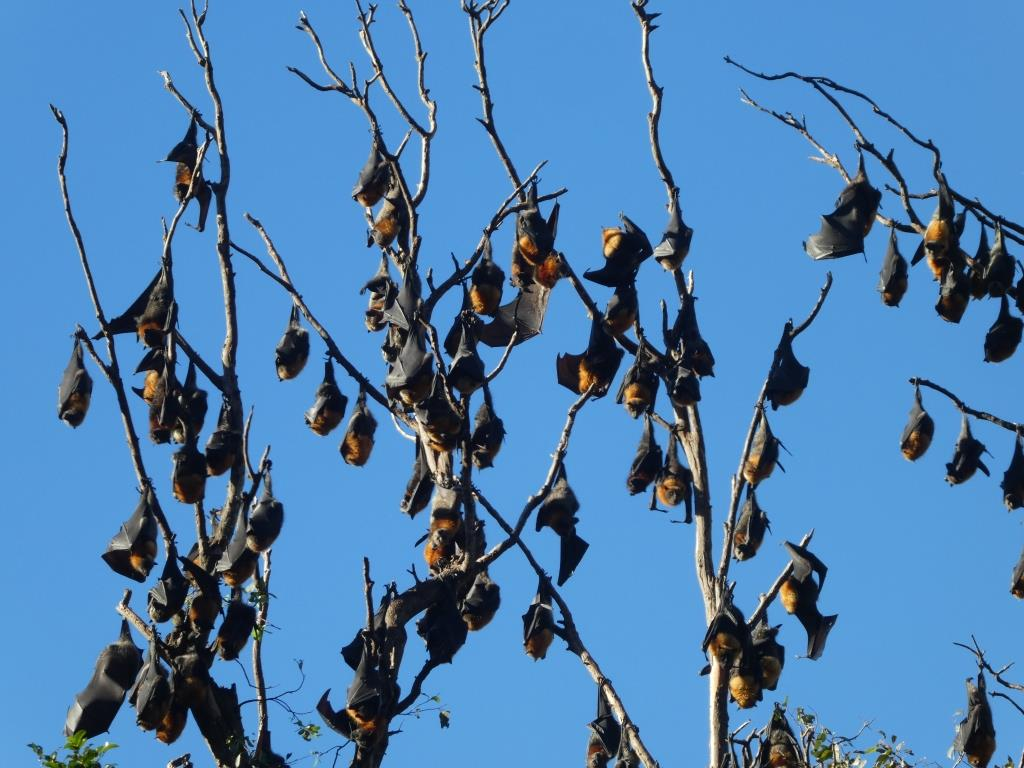 Flying foxes 190709 %2810c%29