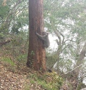 Tallebudgera conservation park koala on tree