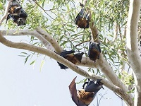 Grey headed flying fox colony engage