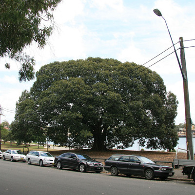 Great Fig in Glebe