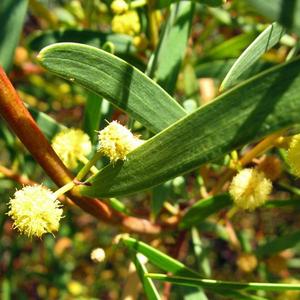 Acacia coastal wattle
