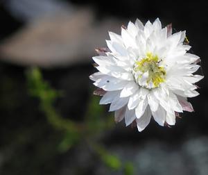 Helichrysum calvertianum strawflowers 126233
