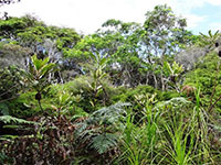 Swamp-banksia