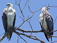 White-bellied-sea-eagle-tile