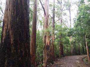 Wet_eucalyptus_globulus_image