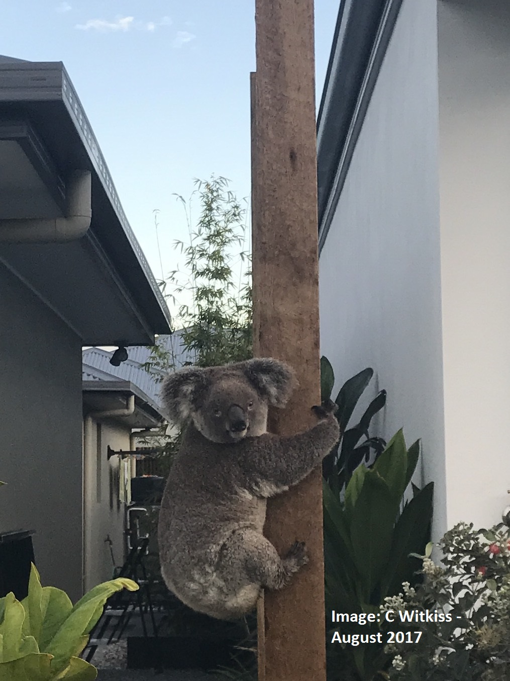 Photo courtesy c witkiss   14 8 17   koala in back yard