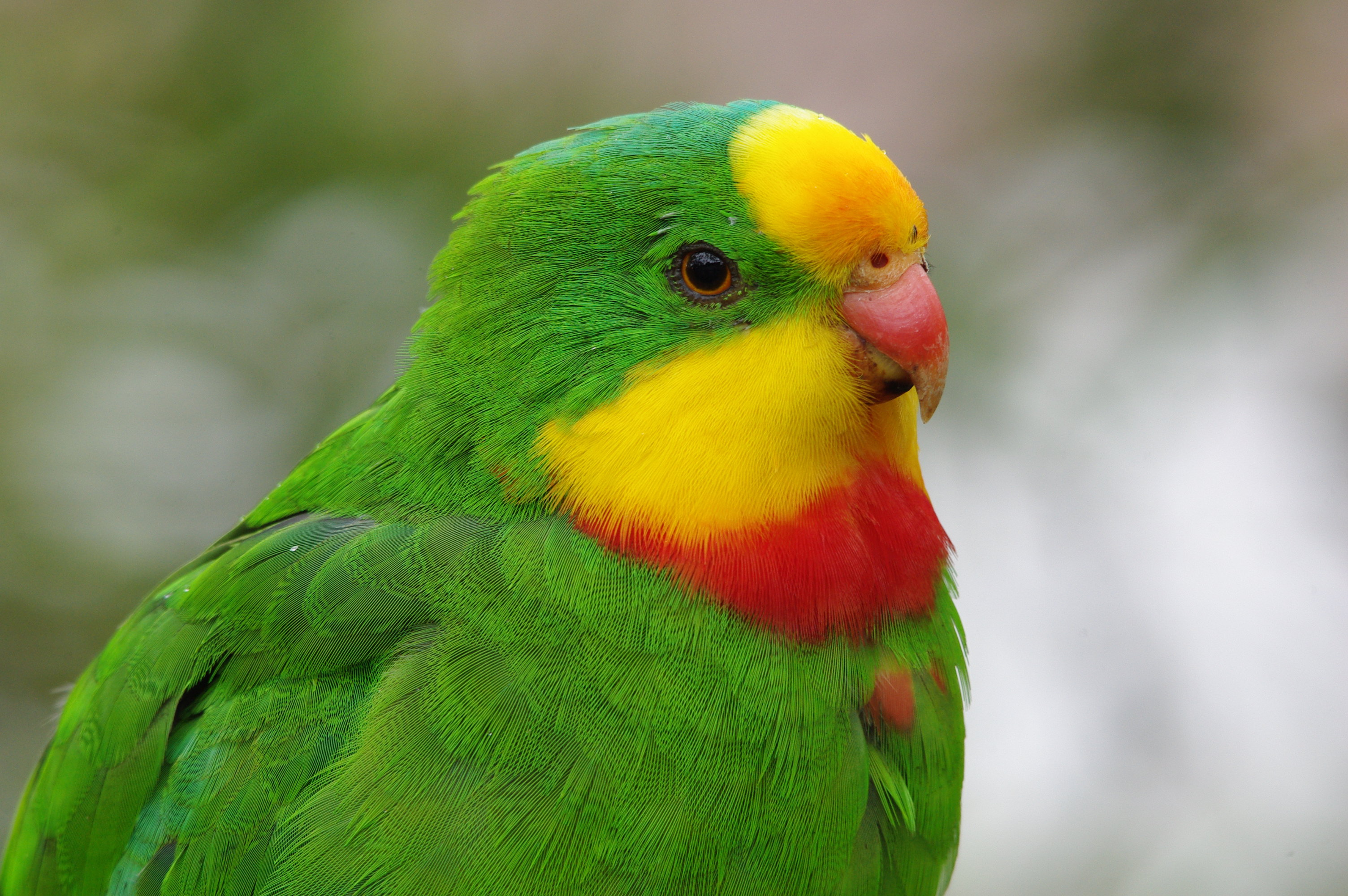 Keeping up with the superb parrot | Have your say on NSW