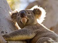 Vt koala139223
