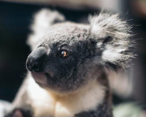 20140625 dreamworld koalas 5 w