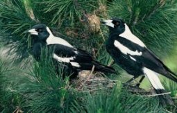 526 magpies s988