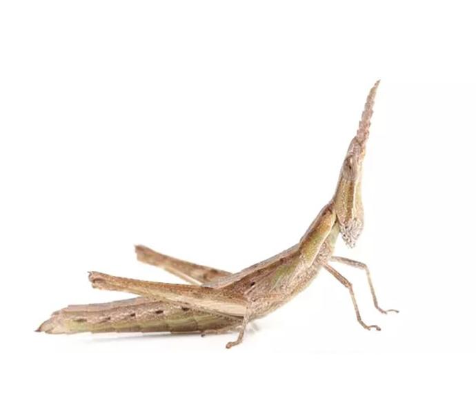 Keys matchstick grasshopper keyacris scurra nl