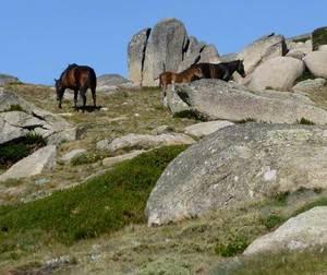 Kosciuszko national park wild horses equus caballus ramshead range oehflickr
