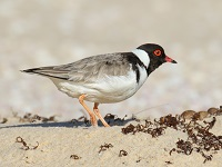 Hooded plover adult 200by150
