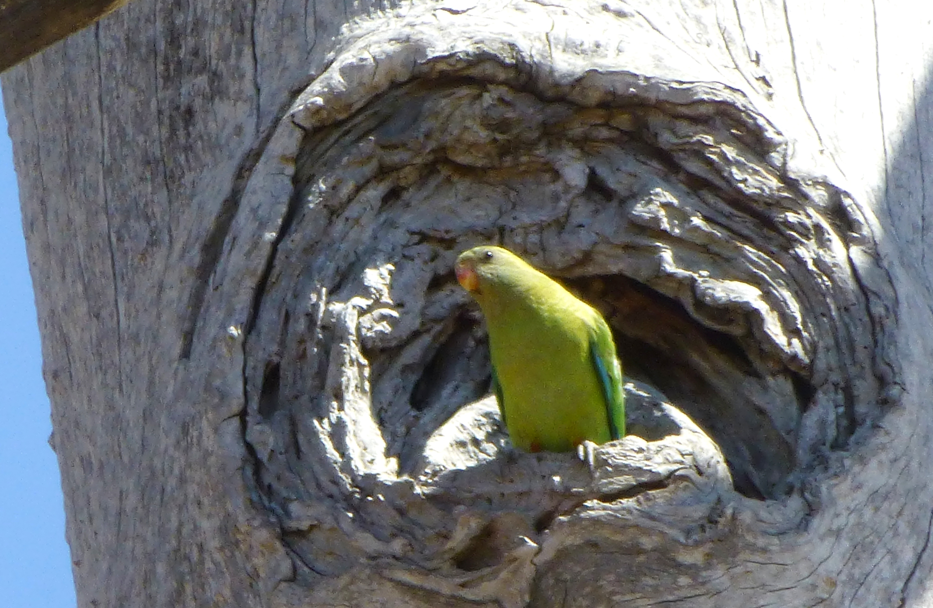 november 2014 superb parrots using hollows in cumnock keeping up