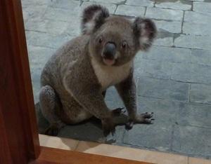 Koala pic 10