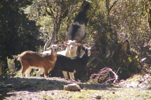 Resizedimage300200 feral goat