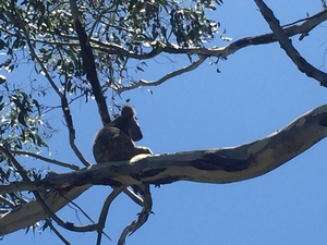 Koala_one_of_five_-_currumbin_waters