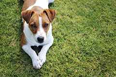 Dog jack russell terrier sml