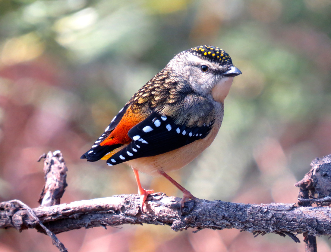 The endangered Spotted Pardalote