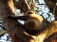Murrah flora reserves wapengo koala phascolarctos cinereus engage