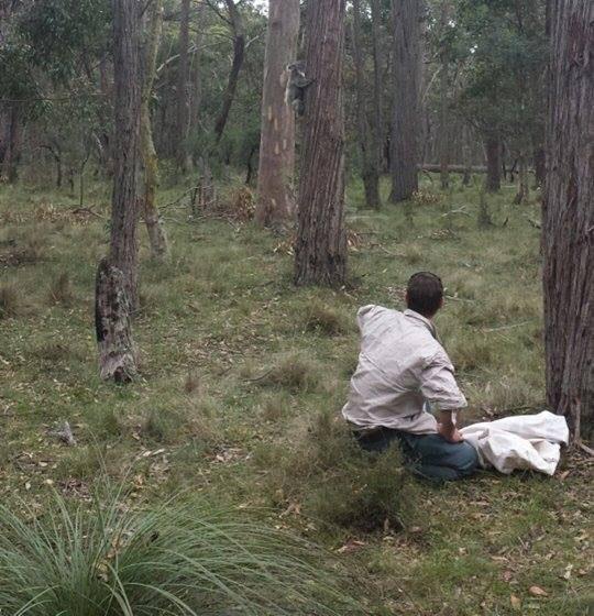 Belanglo koala release cropped