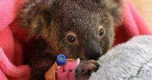 Wildcare koala in care